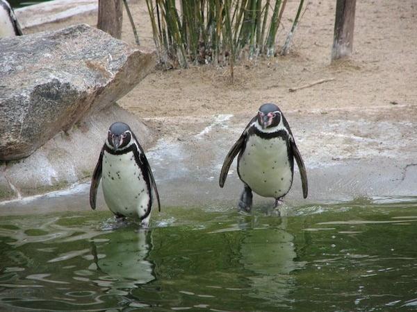 Find Penguins